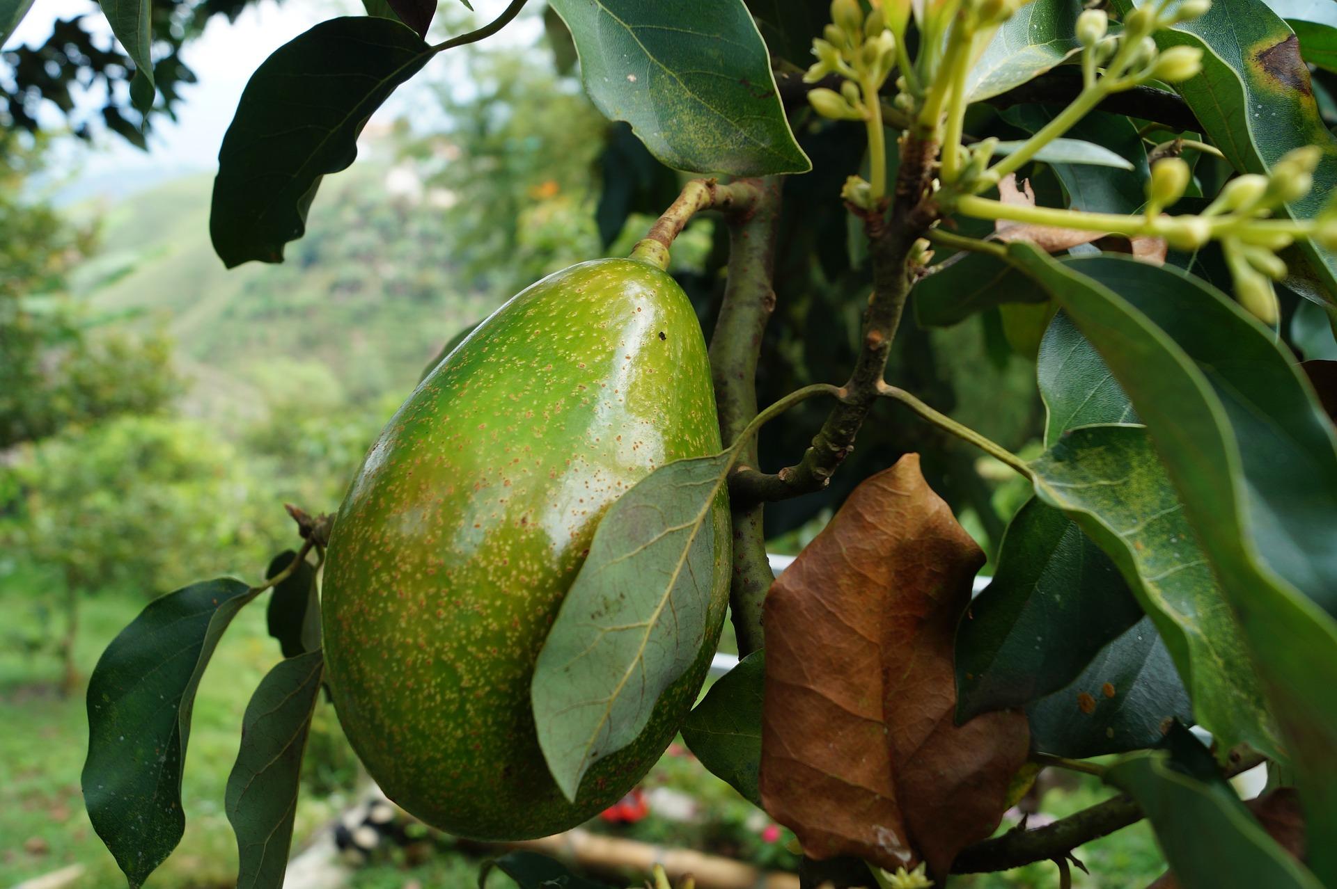 avocado-pianta
