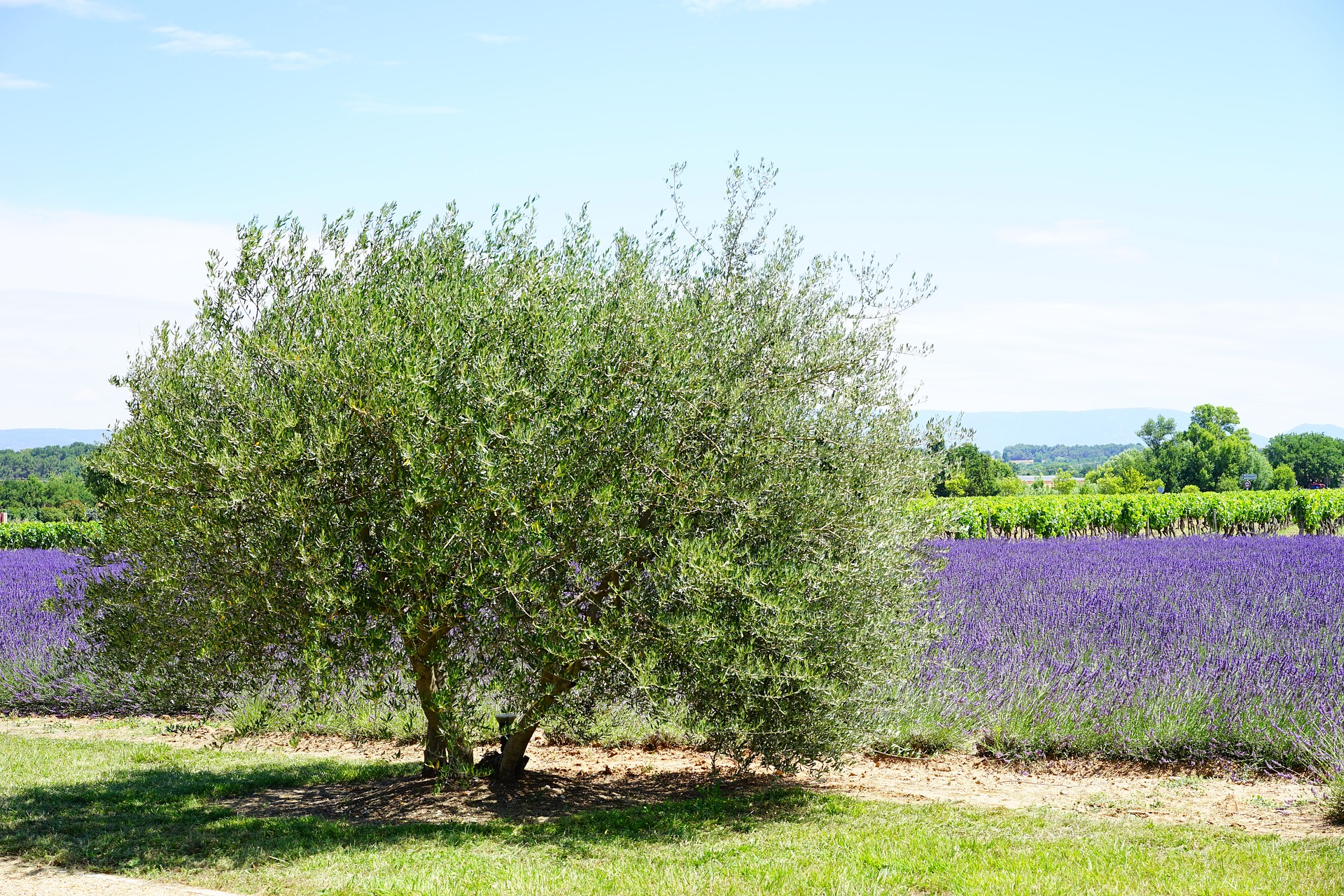 ulivo-albero
